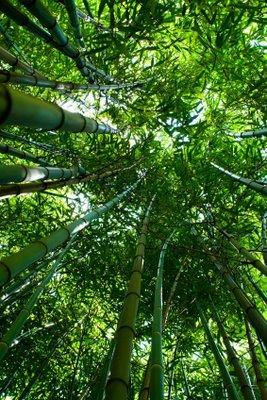 bambu_agaci_yetistirmek