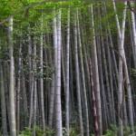 cin_bambu_agaci